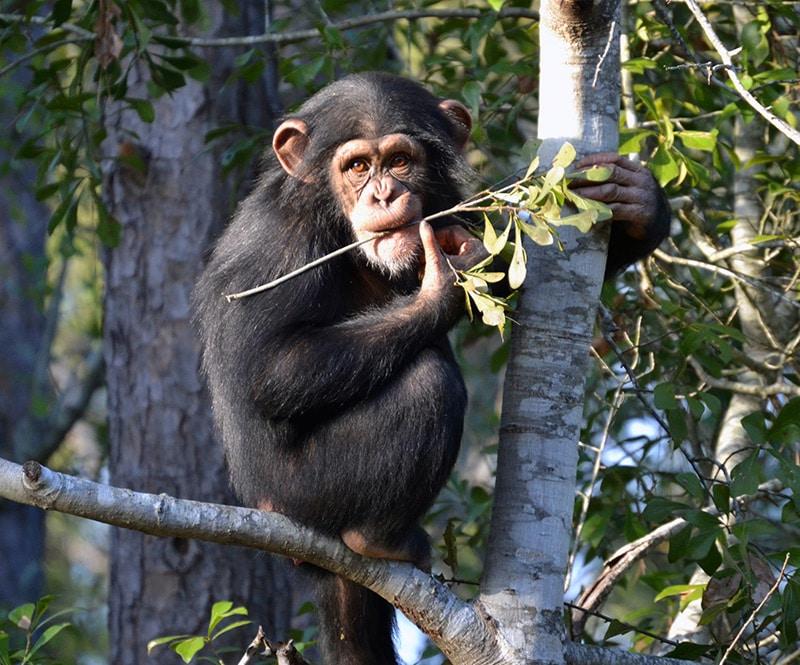 Chimp in Tree