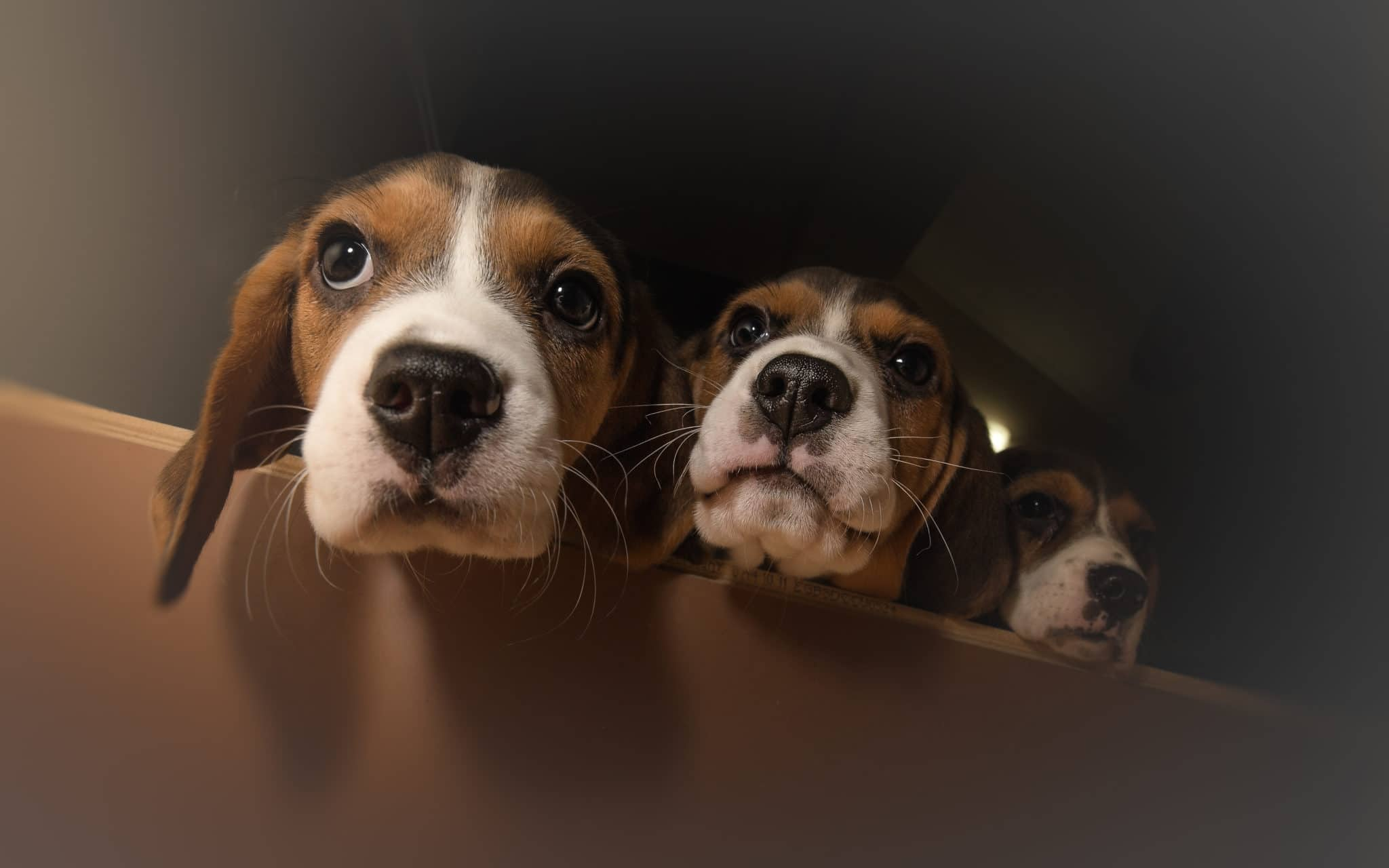 Three Curious Beagle Puppies