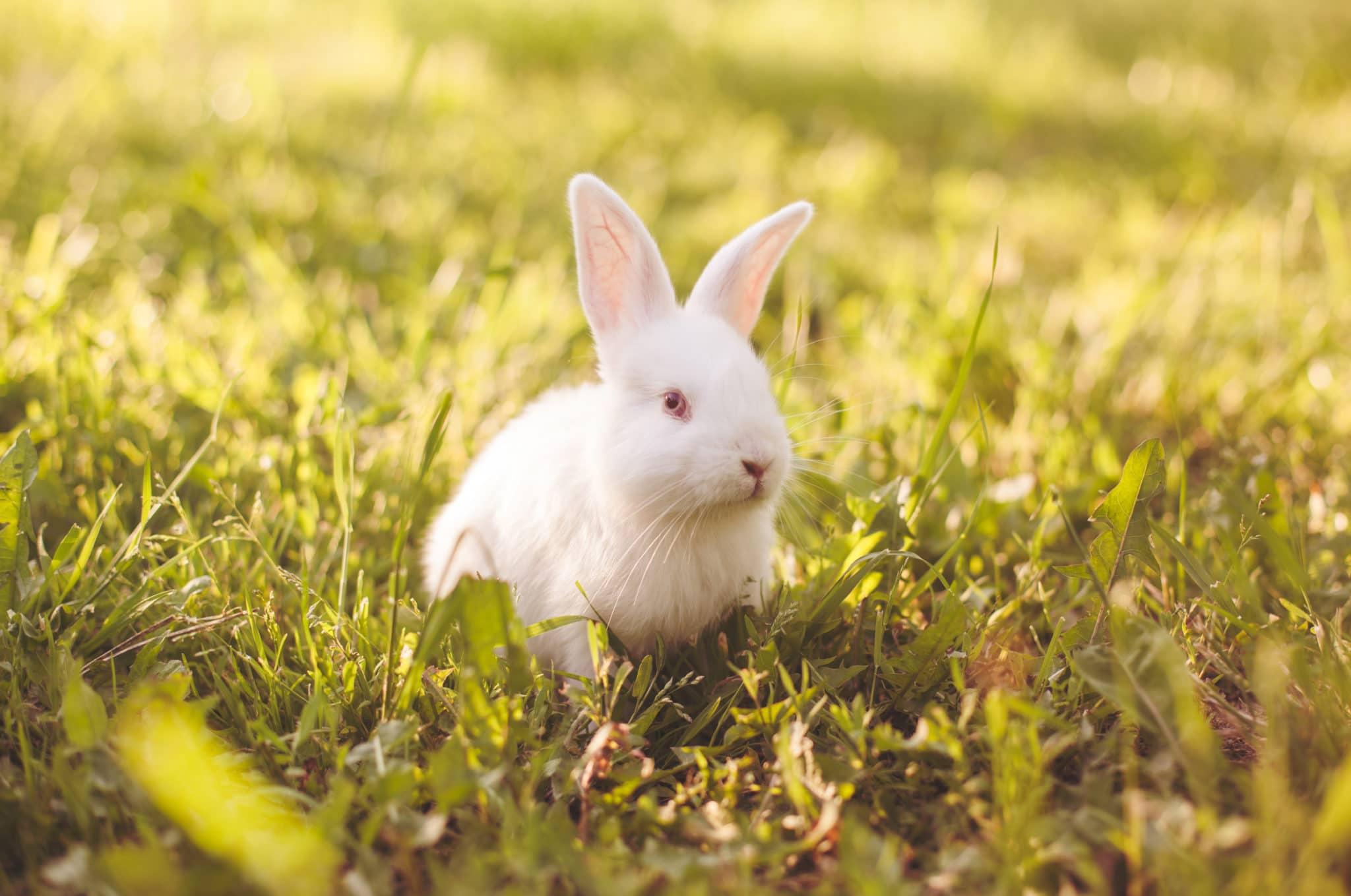 Fluffy White Baby Bunny