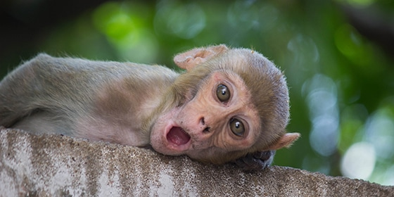The rhesus macaque is one of the best-known species of Old World monkeys. It is listed as Least Concern in the IUCN Red List of Threatened Species in view of its wide distribution, presumed large population, and its tolerance of a broad range of habitats.