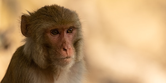 Rhesus macaque (Macaca mulatta) or Indian Monkey in forest sitting on tree.